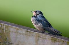 Swallow - Juvenile (Hirundo rustica)