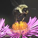 Bumble Bee Flying Off Of An Aster Flower DSCF3746 by Ted_Roger_Karson