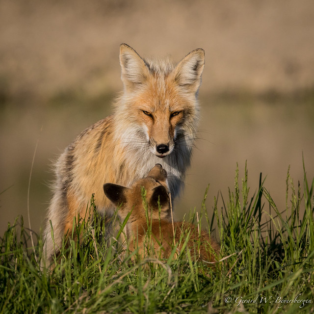 Red Fox - Adult & Kit
