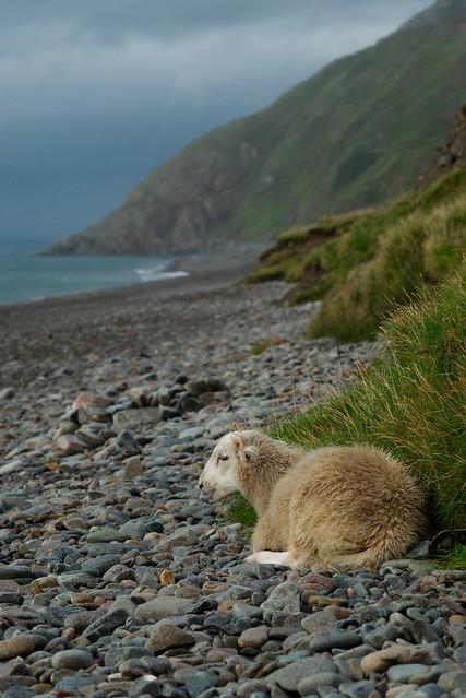Sheep, Nant Gwrtheyrn, Sep 2017