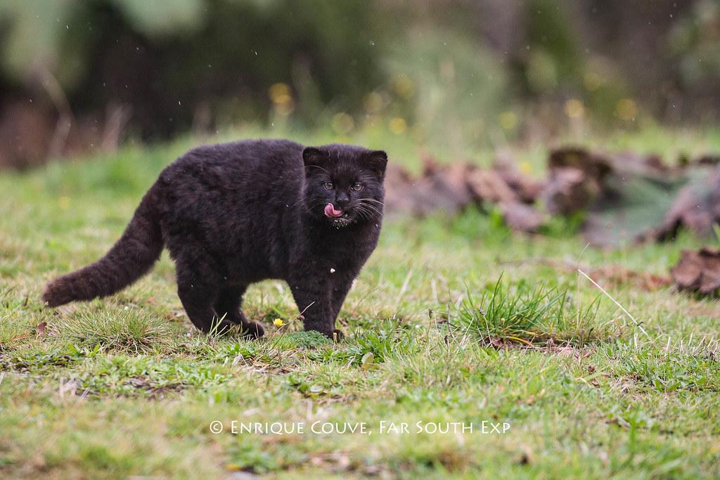 Güiña (Leopardus guigna)
