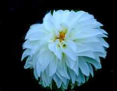 Dahlia white 1 (1 of 1)