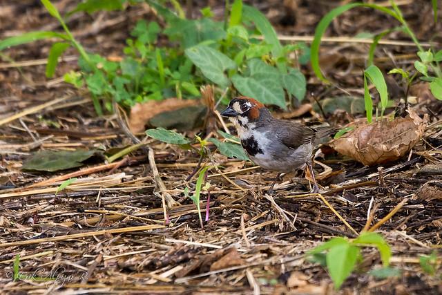 Cabanis's Ground-Sparrow