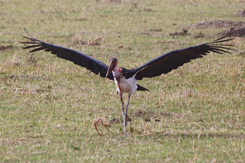 Marabou stork with wildebeest intestine