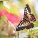 Butterfly #50.