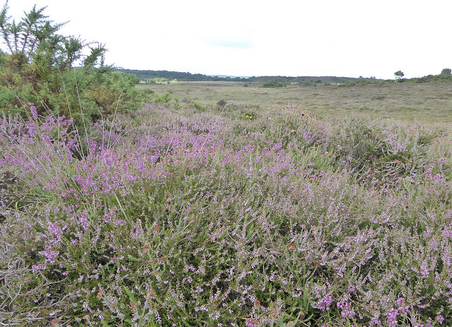 Bell heather and ling with gorse on Winfrith Heath