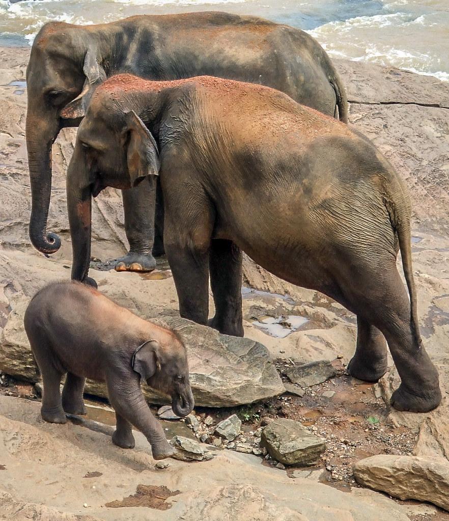 Les orphelins de Pinnawala 36968268561_cef2ff8968_b