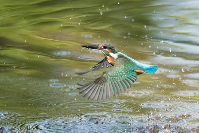 20170910-kingfisher-DSC_2696