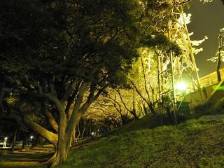 千葉公園 野球場の夜桜07