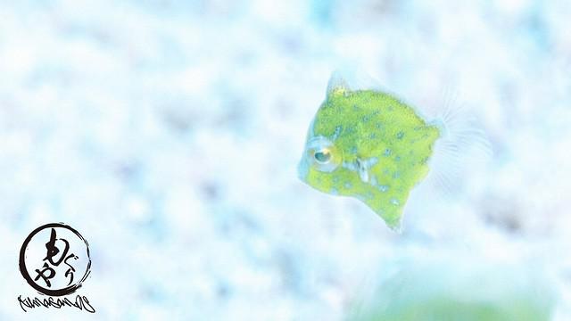 セダカカワハギ幼魚ちゃん♪
