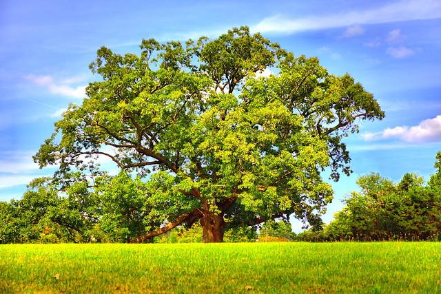 America's Largest Bebb Oak