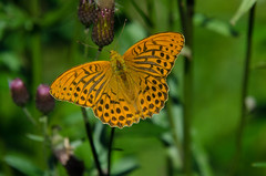 Butterflies - Creative Commons Attribution