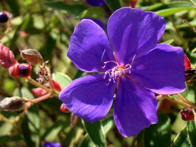 Tibouchina grandiflora, Sony DSC-H50