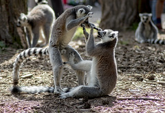 Fight! In Lemur Woods.