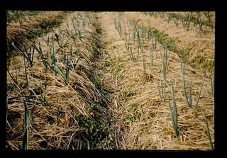稲わらマルチをしているにんにくとたまねぎ畑