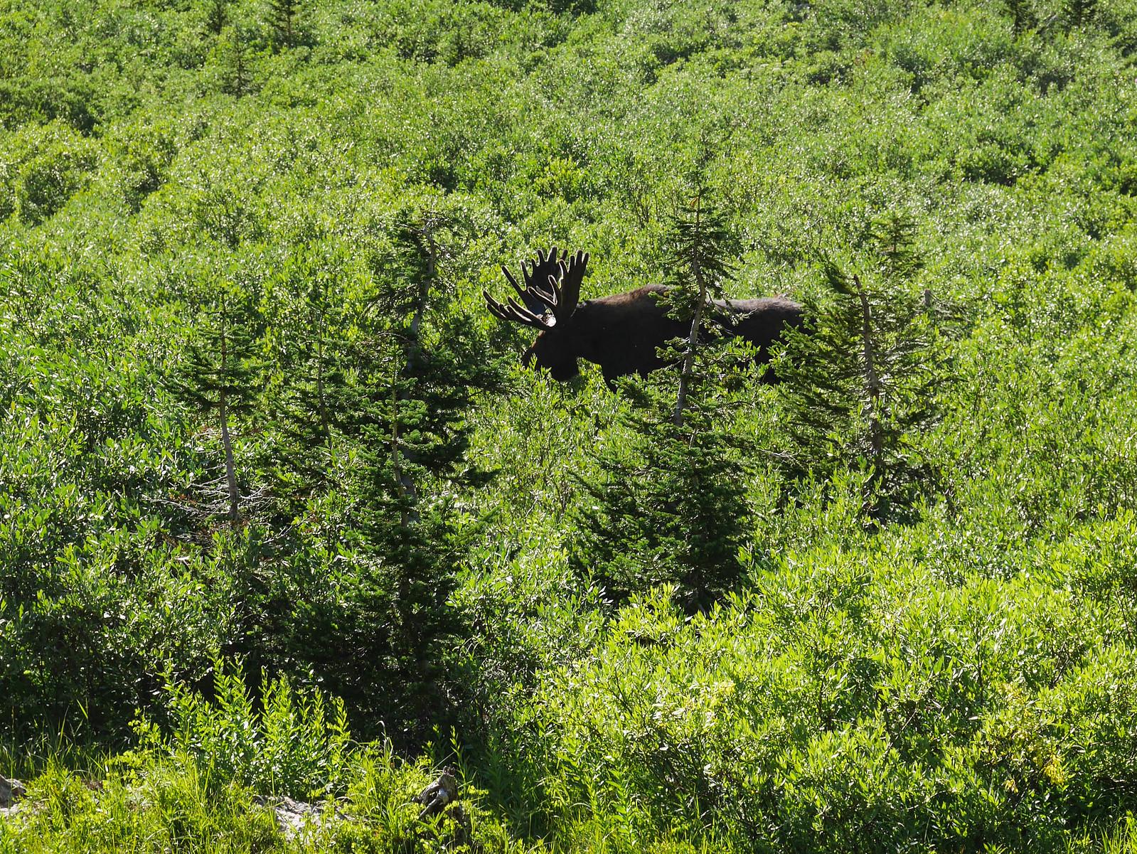 Bull moose!
