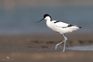 Pied avocet(Recurvirostra avosetta) 反嘴鹬 fǎn zuǐ yù