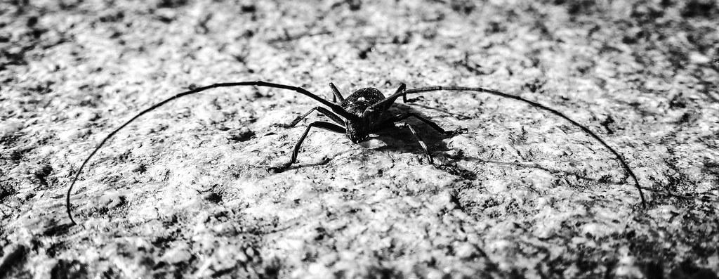 Longhorn Beetle near Mäntyvaara