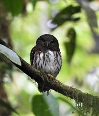 Cloud-forest Pygmy Owl (Glaucidium nubicola)
