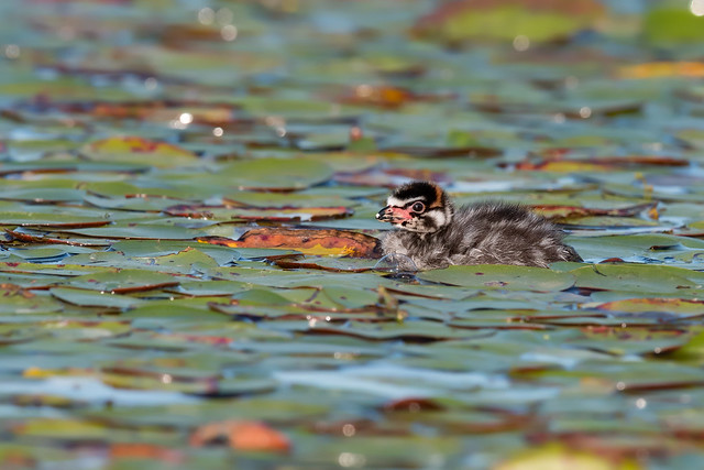 Pied-billed Grebe Baby