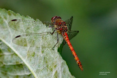 HolderCommon darter