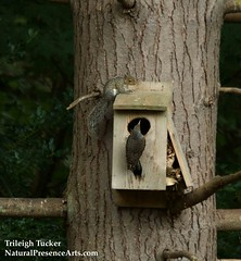 Squirrel fends off flicker from owl box