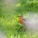 European robin (Erithacus rubecula)_edited-1