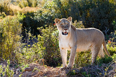 Lioness standing ready for hunting for some food