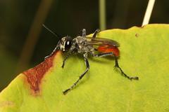 Hymenoptera sp. (Wasp) - Snohomish, WA