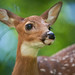 White-tailed Deer Fawn Close-up by Bryan Carnathan