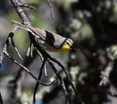 Grace's Warbler (Setophaga graciae)_DSC4542-edit