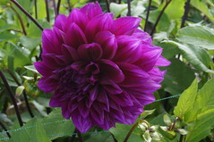6241 Festival des dahlias - Photo of Saint-Pierre-de-Coutances