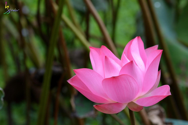 Lotus_5354