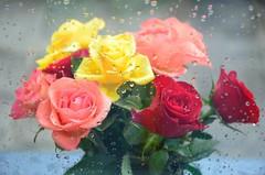 Vihmased roosid