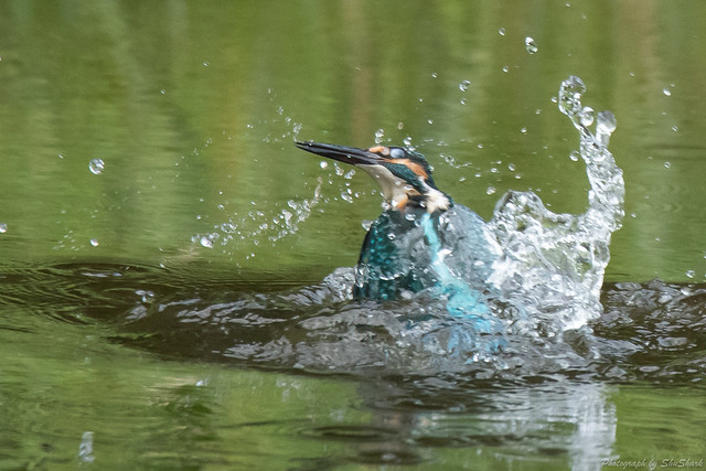 20170913-kingfisher-DSC_3371