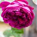 Rose, Anne Hathaway's Cottage garden