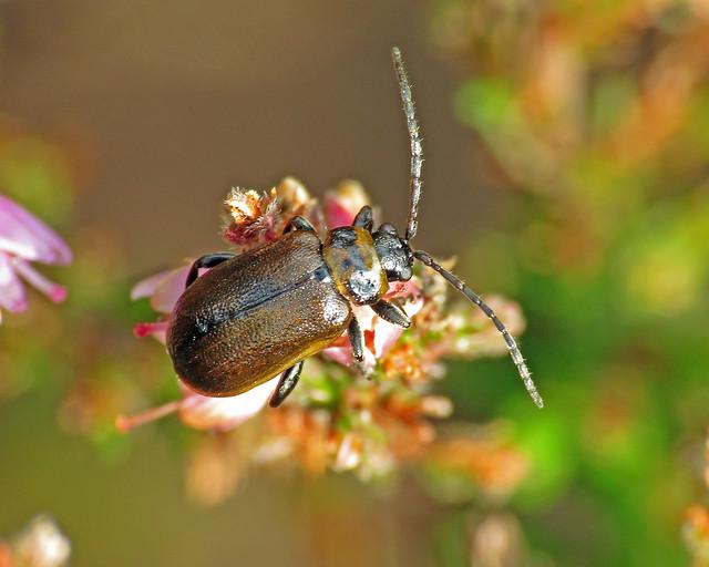 Heather Beetle - Lochmaea suturalis