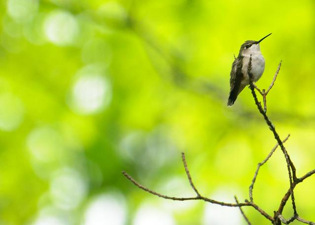 Ruby-Throated Hummingbird perching