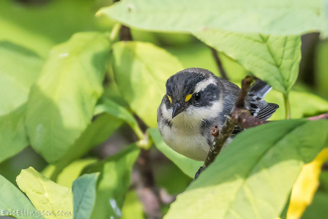 Black-throated Gray Warbler, Canon EOS 7D MARK II, Canon EF 100-400mm f/4.5-5.6L IS II USM
