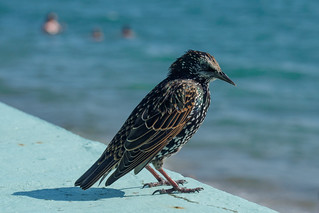 Thieving Starling-E8160221