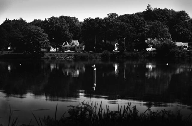 Seagull at Lake Quannapowitt; Wakefield, MA (2017)