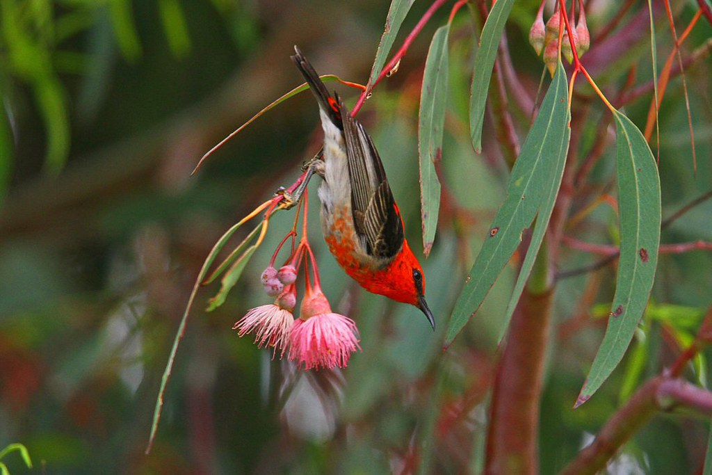Scarlet Honeyeater N Bartlett