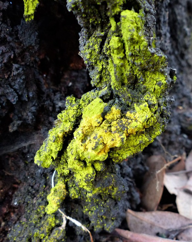Chrysothrix candelaris - Gold Dust Lichen