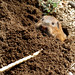 Small photo of Botta's Pocket Gopher