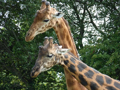 Cerza Zoo - rothschild's giraffe (2)
