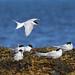 Arctic Tern - Iceland