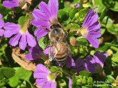 IMG_3536_Bee on purple flowers