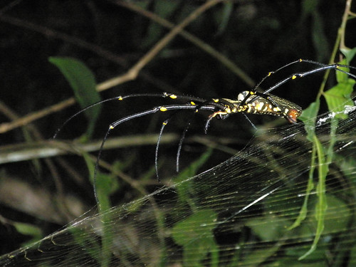 A giant wood spider (Nephila maculata) found in Khao Yai National Park in Northeast Thailand (Issan)