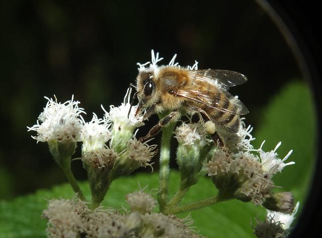 Honey Bee Feeding On Boneset Flowers DSCF3126