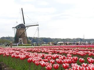 佐倉チューリップフェスタ 1 オランダ風車12